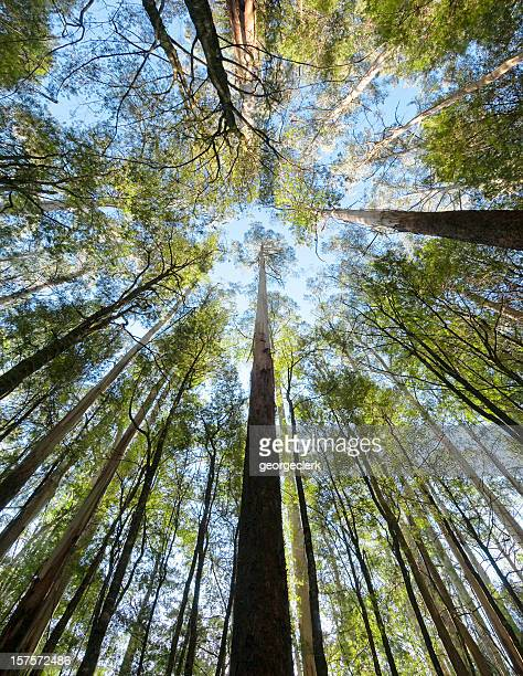 tall forest up above - eucalyptus tree stock pictures, royalty-free photos & images