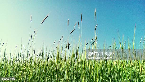 Tall Grass Against Sky