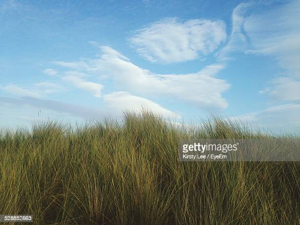 Tall Grass Growing Against Sky