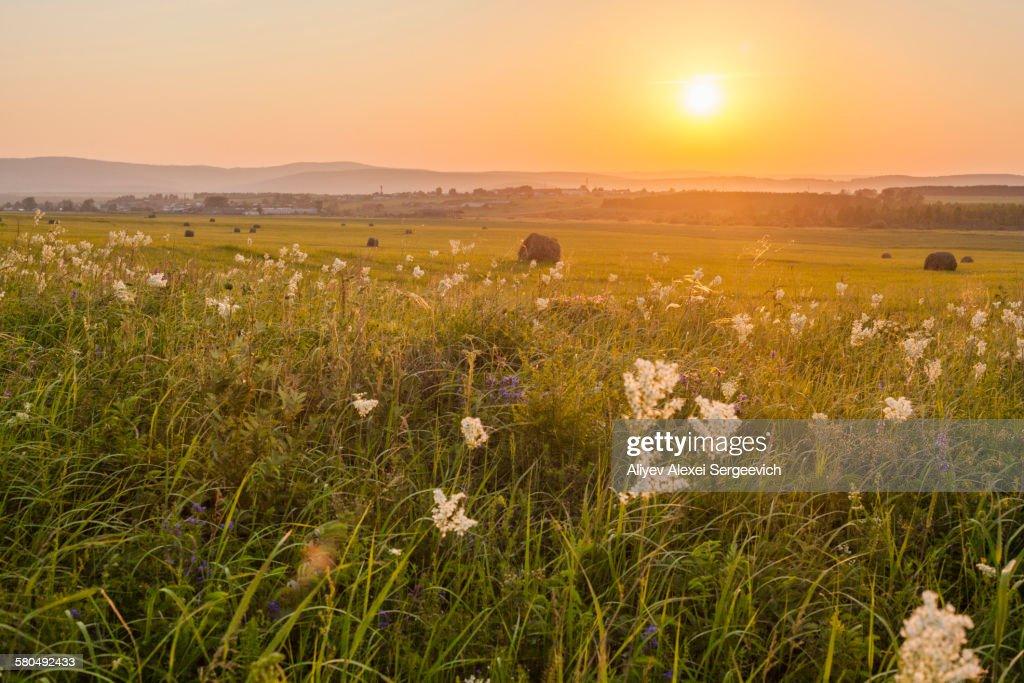 tall grass field sunset. Tall Grass Growing In Rural Field At Sunset : Stock Photo
