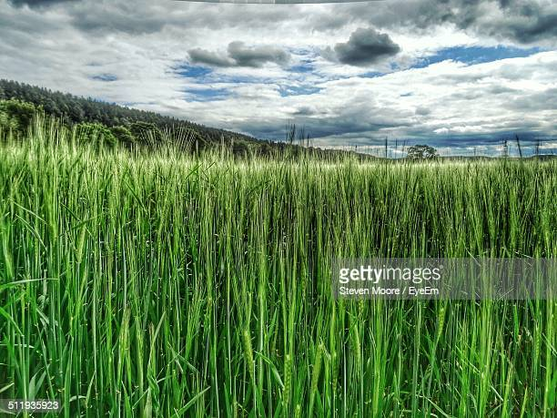 Tall grass growing on agricultural field