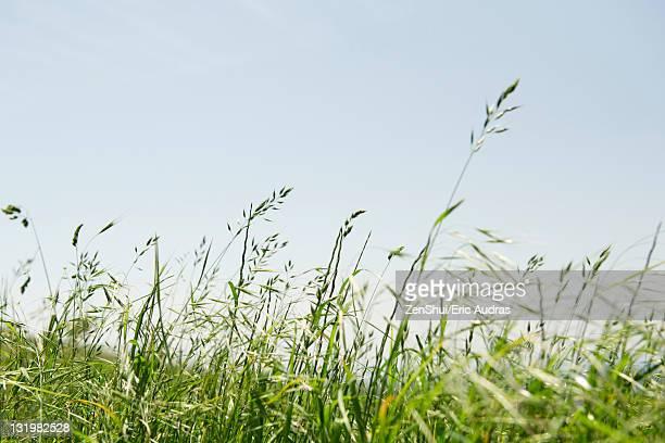 Tall grass in wind