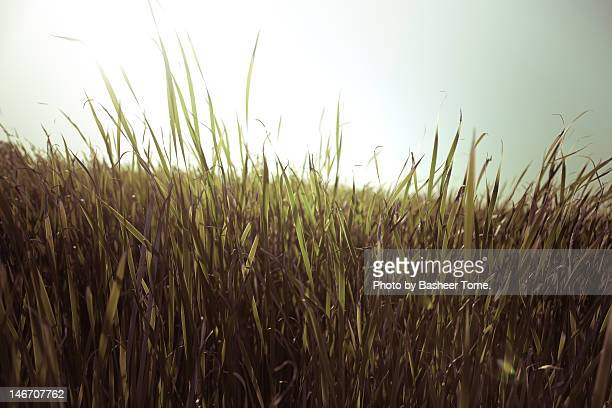 tall grass - palo alto stock pictures, royalty-free photos & images