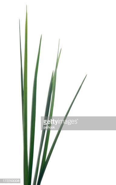 Grande plante herbacée