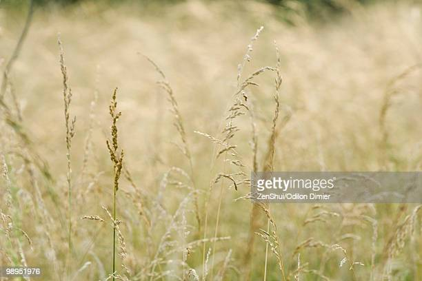 tall grass - plant pod stock pictures, royalty-free photos & images