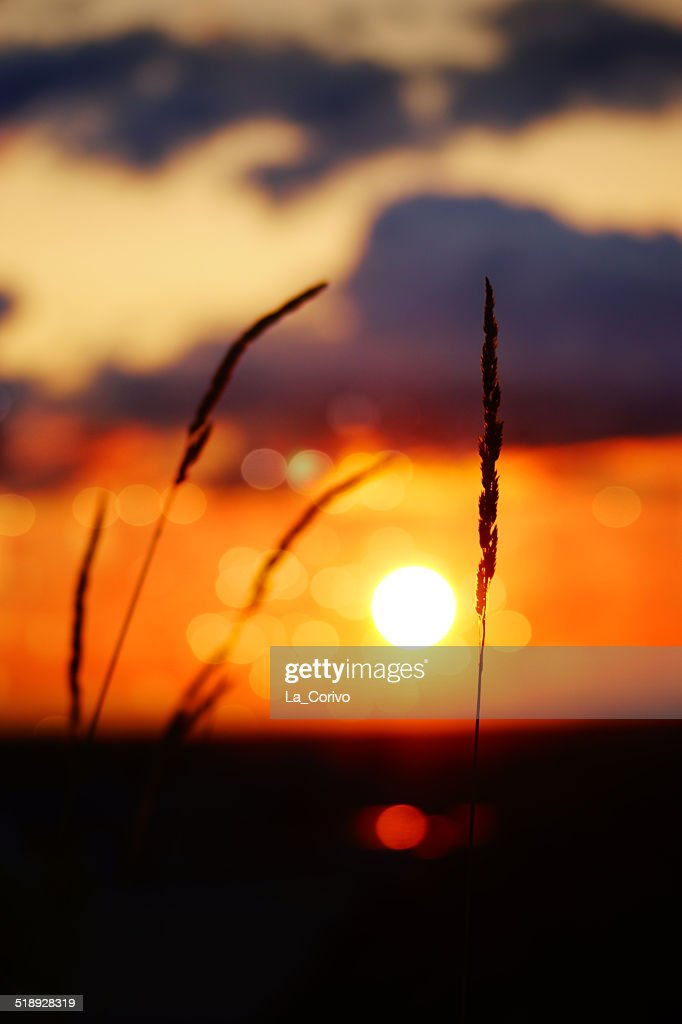 tall grass silhouette. Tall Grass Silhouette At Dramatic Cloudy Golden Sunset : Stock Photo