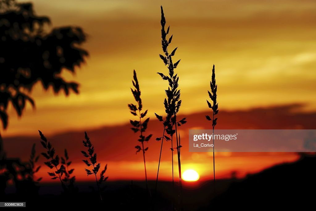 tall grass silhouette.  Tall Tall Grass Silhouette At Dramatic Golden Sunset  Stock Photo Intended Grass Silhouette