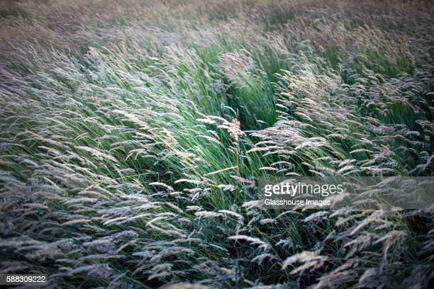 tall grasses blowing in wind, high angle view - tall high stock pictures, royalty-free photos & images