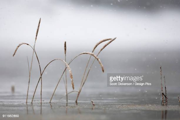 tall grasses submerged in water with raindrops falling against a grey background - home run ストックフォトと画像