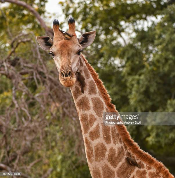 Tall Grazing Giraffe