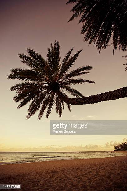tall hanging palm tree on sunset beach in morning. - sunset beach stock photos and pictures