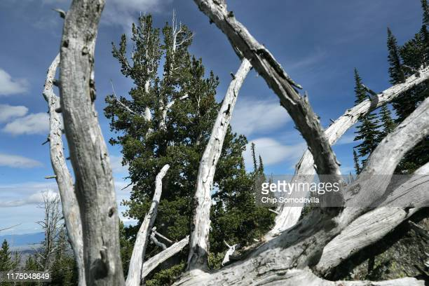 Tall, healthy whitebark pine tree is framed by the bleached branches of a dead tree at the top of a 7,200-foot-high ridge along the Reservation...