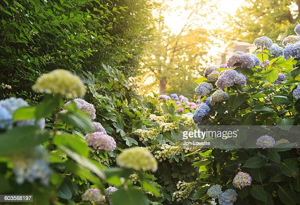 tall hydrangeas - newport rhode island stock pictures, royalty-free photos & images