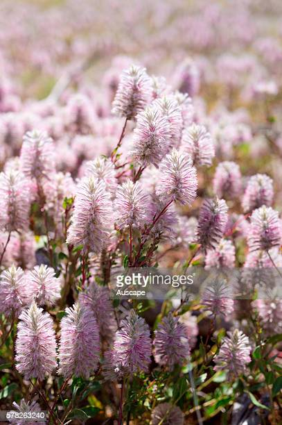 Tall mulla mulla Ptilotus exaltatus in flower Welford National Park central west Queensland Australia