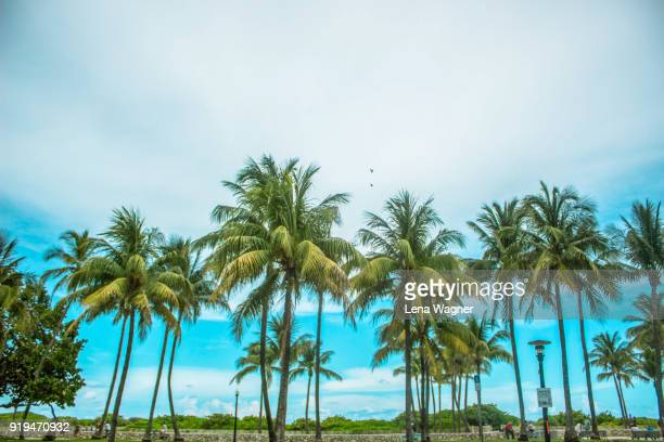 Tall Palm Trees Against Slightly Cloudy Sky