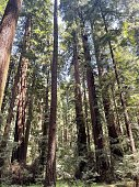 there is tall red pine forest