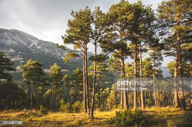 tall pines and the pyrenees in sant llorenç de morunys - cataluña fotografías e imágenes de stock