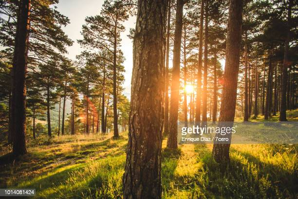 tall pines in sant llorenç de morunys, 1 - pine woodland stock pictures, royalty-free photos & images
