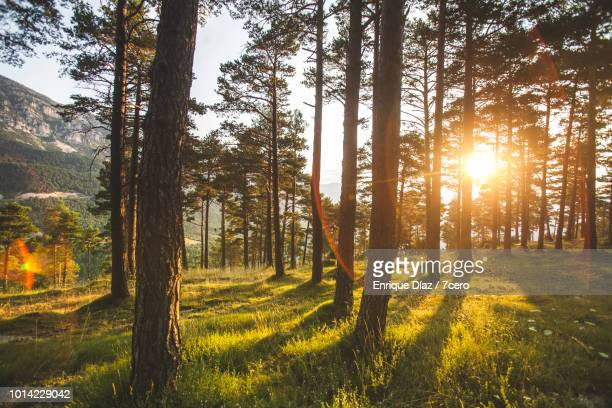 tall pines in sant llorenç de morunys, 2 - woodland stock pictures, royalty-free photos & images