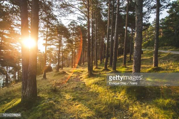 Tall Pines in Sant Llorenç de Morunys, 3