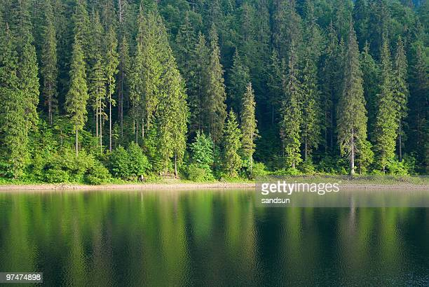 Tall pines reflected in Synevir Lake
