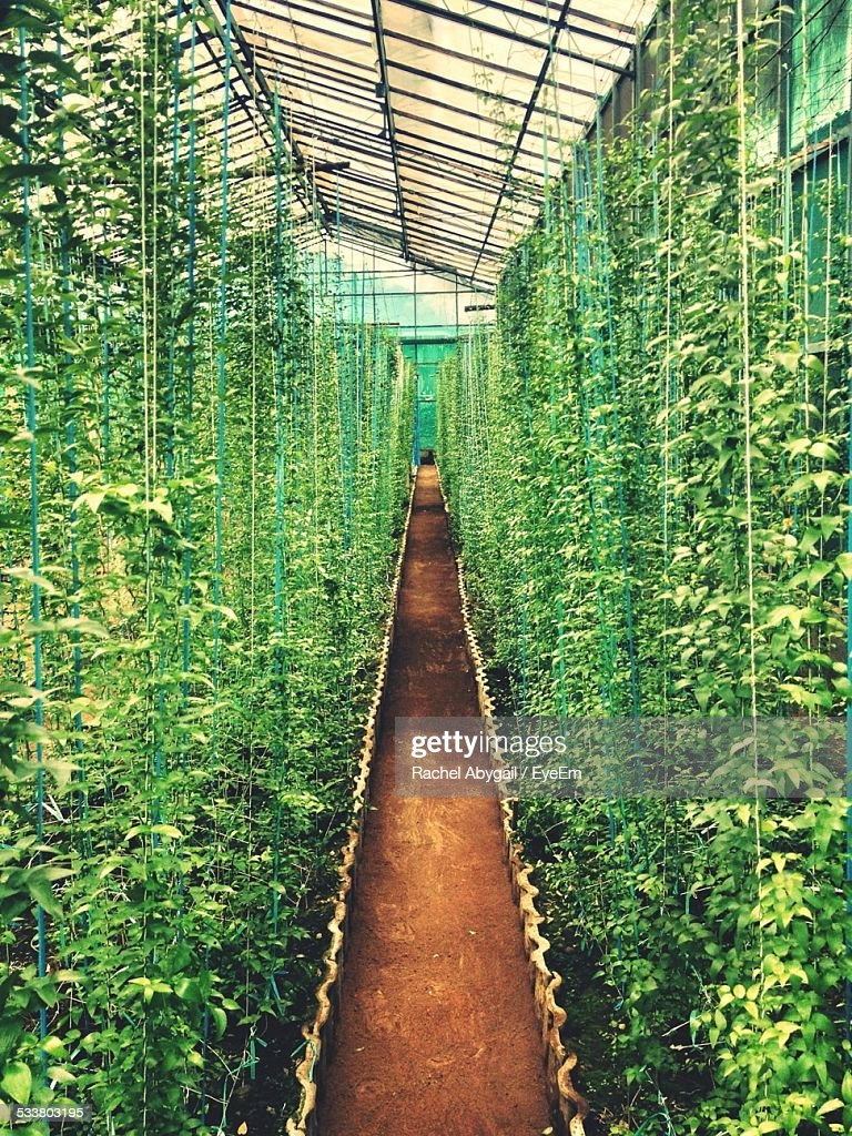 Tall Plants Growing In Greenhouse : Foto stock
