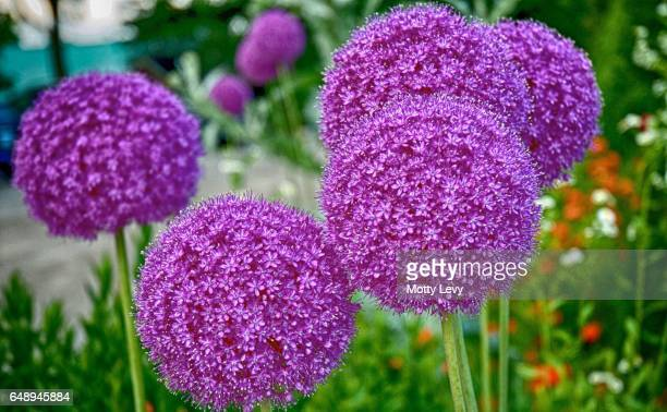 Tall purple allium flowers