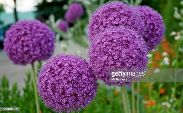 Tall purple allium spring flowers