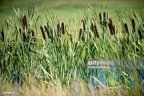 Tall reeds with grass scenery in background