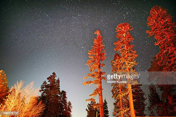 Tall sequoia trees at night under starry sky
