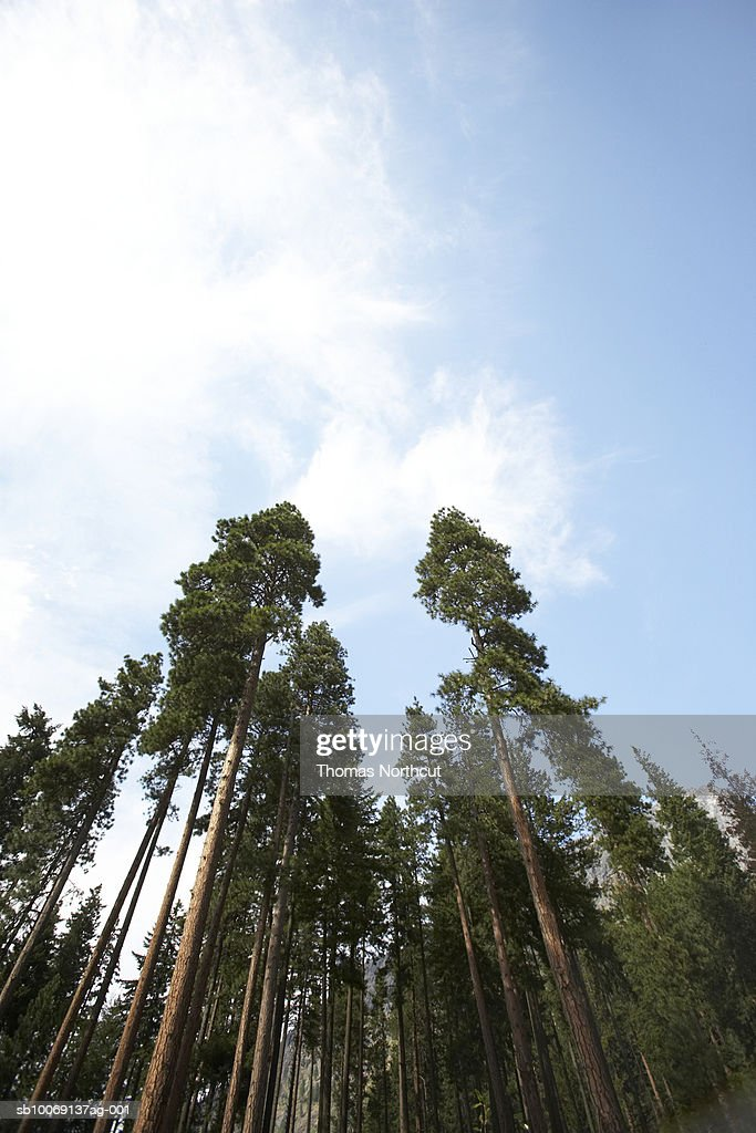 Tall spruce trees and sky : Stockfoto