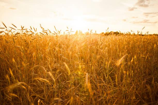 Tall Stalks Of Wheat In Crop Field Wall Art
