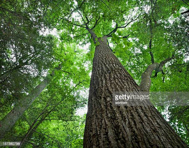 tall tree in the forest primeval - roaring fork motor nature trail stock pictures, royalty-free photos & images