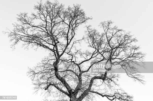 a tall tree with leafless branches in winter. - bare tree stock pictures, royalty-free photos & images