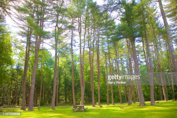 tall trees at housatonic meadows, ct - barry wood stock pictures, royalty-free photos & images