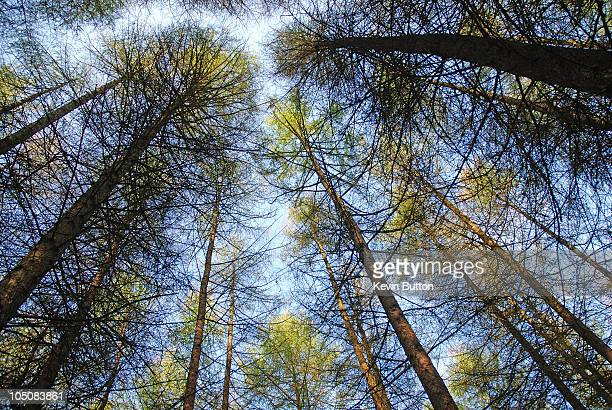 Tall Trees - Forest of Dean