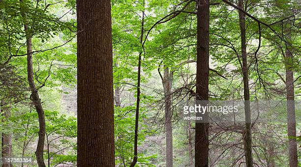 tall trees in the forest primeval oversize panorama - roaring fork motor nature trail stock pictures, royalty-free photos & images
