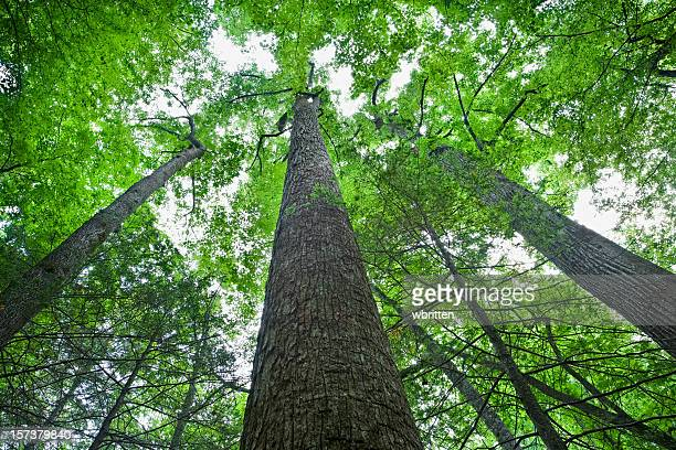 tall trees in the forest primeval - roaring fork motor nature trail stock pictures, royalty-free photos & images