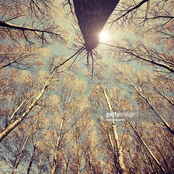 Tall Trees, low angle view - Autumn vintage season