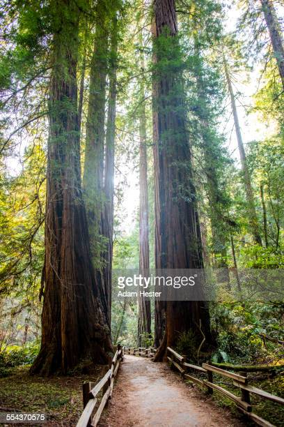 tall trees over fenced dirt path in forest - muir woods stock photos and pictures