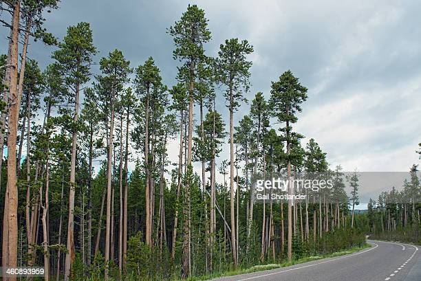 Tall trees with strong thin trunks line the road along the North Rim of Yellowstone National Park at Canyon Junction, Wyoming, USA. When taking the...