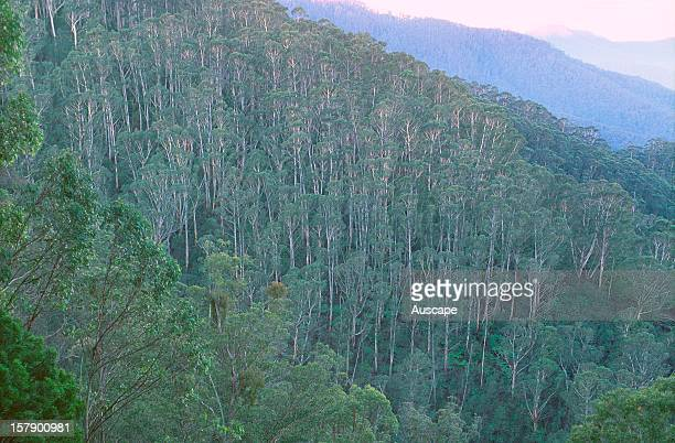 Tall wet sclerophyll forest on escarpment, Bega Valley, New South Wales, Australia.