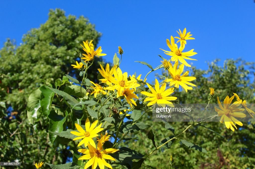 Tall yellow flowers stock photo getty images tall yellow flowers stock photo mightylinksfo