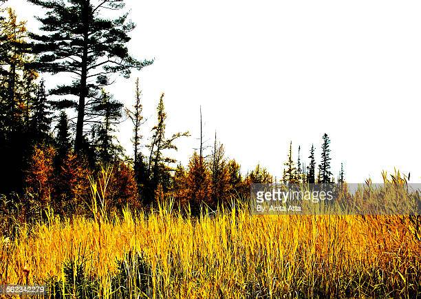 tall yellow grass with white pine - eastern white pine stock pictures, royalty-free photos & images