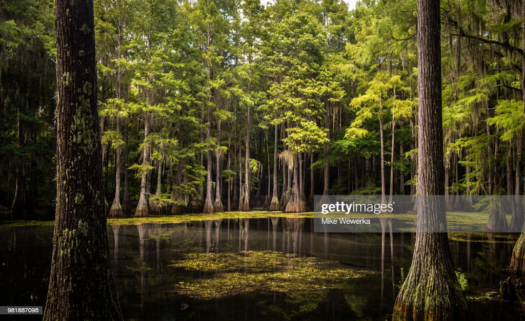 Tallahassee Cypress Swamp : Stock Photo