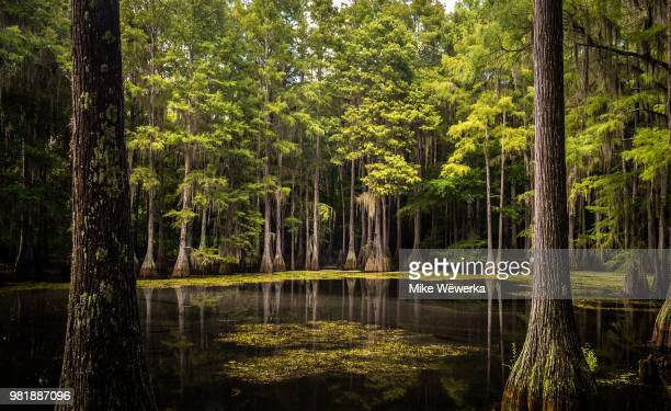 tallahassee cypress swamp - southern usa stock pictures, royalty-free photos & images
