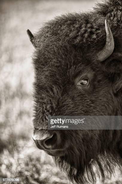 Tallgrass Prairie Bison