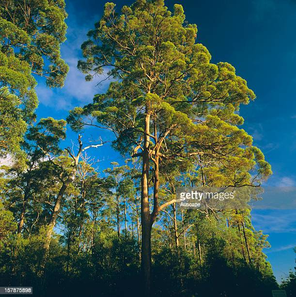 Tallowwood a large straightgrowing forest tree valuable for its timber especially for flooring distributed in heavier forest country on more fertile...