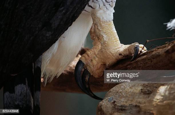 Talons of a Harpy Eagle
