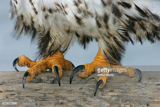 Talons of an Eagle